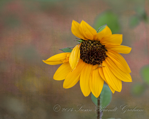 sunflower with crab spider