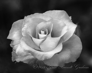 Rose Photography Susan Brandt Graham Photography