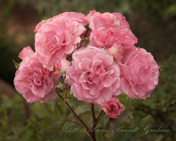 roses dream weaver