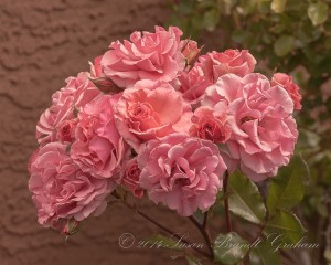 rose photography Dream Weaver