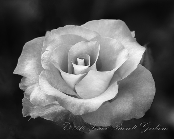 roses Leonidas