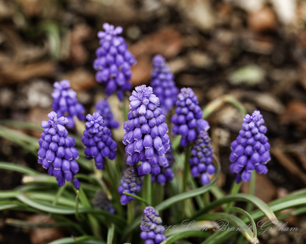 early spring flowers grape hyacinths
