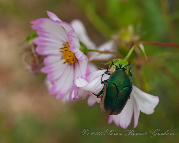 summer insects june bug