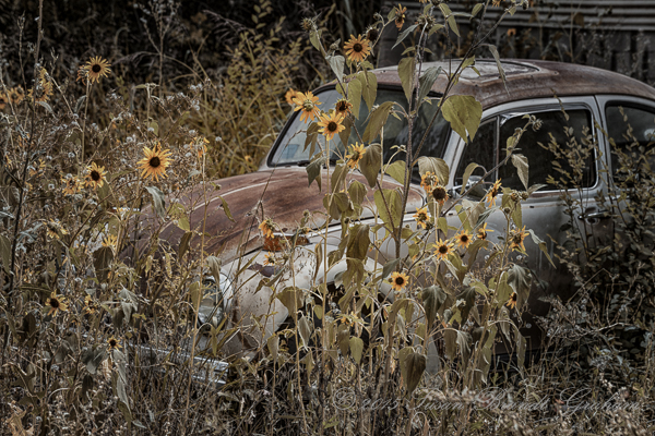 old cars and sunflowers