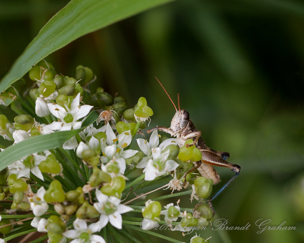 summer insects grasshopper