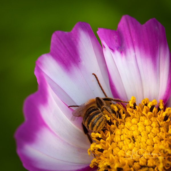 Bee in Cosmos