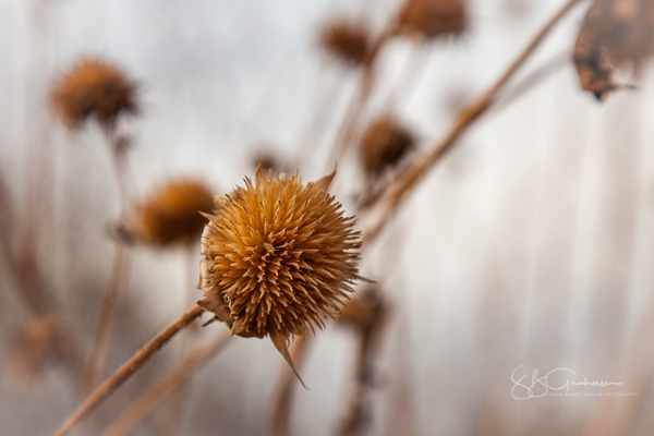 DNA sunflower seed heads