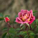 miniature rose incognito