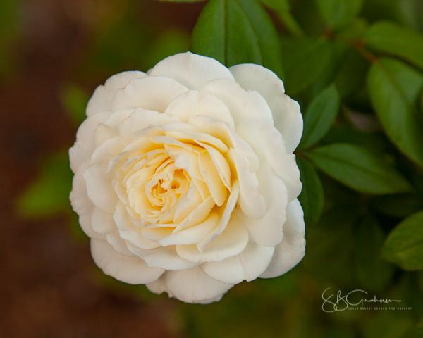 garden delights rose floribunda