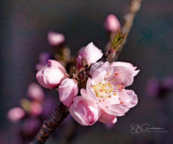 Dwarf Peach 'Bonanza' Bloom