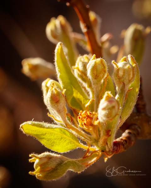 spring flowers pear buds