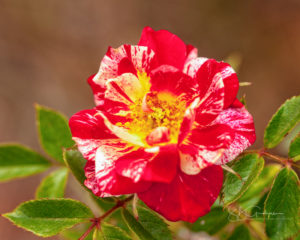 miniature rose Pinstripe