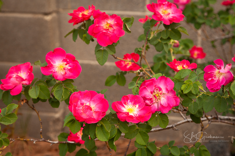 shrub rose 'Pike's Peak'