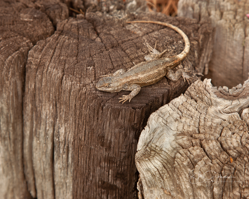 lizard in the late afternoon garden