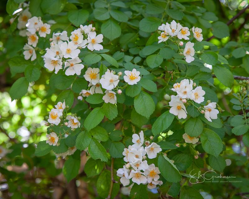 Price Rose Garden