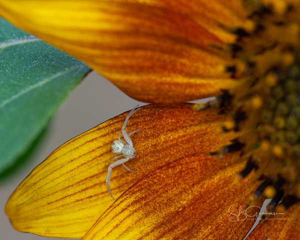 sunflower crab spider
